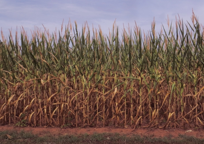 dry, or 'burnt', corn crop, from Clemson Newstand