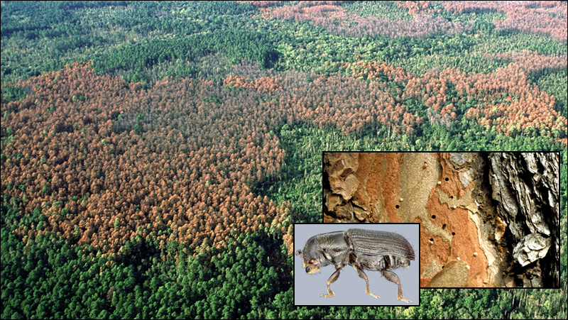 This photo of a pine forest shows the large impacts of the southern pine beetle, which thrives on drought. There are two insets in the photo, one showing the beetle, and one showing the boreholes that the beetles makes when it destroys the trees. Photo courtesy of the US Forest Service.